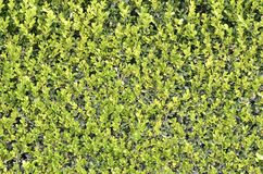 Green hedge texture Royalty Free Stock Photos
