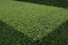 Green hedge. Texture of green hedge with diagonal lines Royalty Free Stock Image