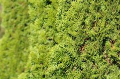 Green Hedge of Thuja Trees Stock Images