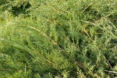 Green Hedge of Thuja Trees cypress, juniper . green natural background. close up. Texture. Leaves of pine tree Stock Photos
