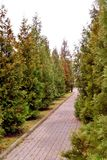 Green hedge of thuja trees lined along the alley . royalty free stock photography
