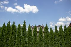 Green Hedge of Thuja Trees, nature, background Against the background of the blue sky royalty free stock image