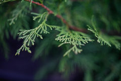 Green Hedge of Thuja Trees. Platycladus orientalis Stock Photography