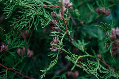 Green Hedge of Thuja Trees. Platycladus orientalis Royalty Free Stock Photography