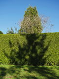 Green hedge with tree shadow Royalty Free Stock Photos