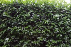 Green Hedge Wall Outside. This is a photo of a hedge acting as a wall Royalty Free Stock Photo