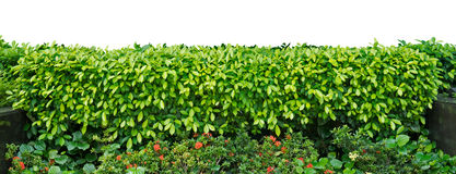 Green Hedge. On white background Stock Photo