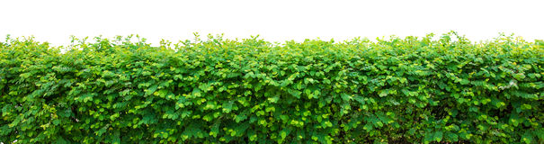 Green Hedge. On white background Royalty Free Stock Photography