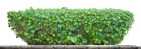 Green Hedge. On white background Royalty Free Stock Image