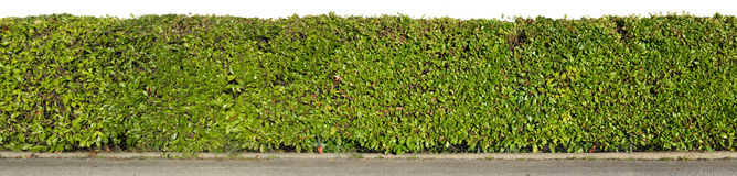 Green hedge. On white background Royalty Free Stock Photos