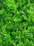 Green hedge yew in detail. Green spring hedge yew in detail stock photography