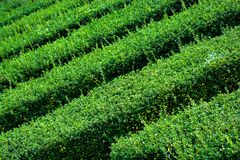 Green Hedges in a Garden Labyrinth Stock Photography