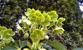 Green Hellebore Flowers Stock Images