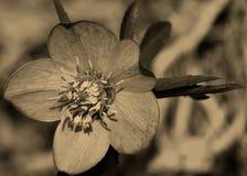 Green Hellebore (Helleborus viridis) Stock Images