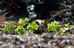 Green hellebore leaf litter of the forest Royalty Free Stock Photo