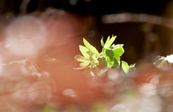 Green hellebore in the woods Stock Photo