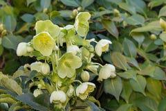 Green helleborus flowers in bloom. Detail of green helleborus flowers in bloom Stock Images