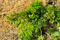 Green hemlock spotted plants Conium Maculatum Royalty Free Stock Photo