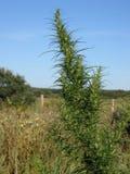Green hemp Royalty Free Stock Image