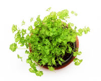 Green herb. Isolated green herb in the flowerpot in front of window Royalty Free Stock Photo