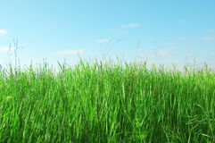 The green herb. The green herb on background blue sky Royalty Free Stock Photo