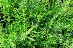 Green Herb Background Royalty Free Stock Images