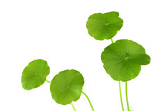 Green herb Centella asiatica of wetland Royalty Free Stock Photos