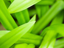 Green-herb long-leaves Stock Image