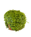 Green herb Royalty Free Stock Photo
