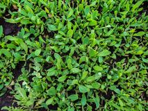 Green herbage from above. close up. Young, bright, green and blooming grass from above Royalty Free Stock Image