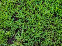 Green herbage from above. almost close up. Green young grass from above Stock Images