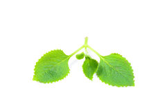 Green herbal siam weed Stock Images