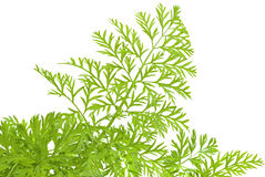 Green herbs. Of carrots on white background Royalty Free Stock Images