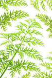 Green herbs. Of carrots on white background Royalty Free Stock Photography
