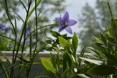 Green herbs on the balcony. Leaves of osteospermum and campanula persicifolia on blurred background with platycodon and lobelia.  royalty free stock images