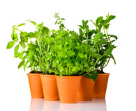 Green Herbs Growing in Pottery Pots on White Background stock photos