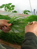 Green herbs in hand Stock Images