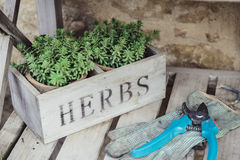Green herbs pot with garden tools Royalty Free Stock Images