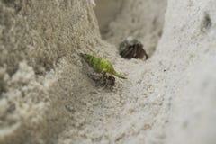 Green Hermit crab Stock Photos