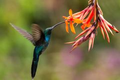 Green hermit, hovering next to orange flower, bird from mountain tropical forest, Costa Rica, beautiful hummingbird sucking nectar. From blossom, bird in flight stock image