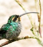 Green Hermit hummingbird close up. Bird perched on a thin arching branch stock photo