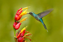 Green Hermit, Phaethornis guy, rare hummingbird from Costa Rica. Green bird flying next to beautiful red flower with rain. Action Stock Image