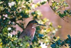 Green Heron. A seldom seen Green Heron, Florida, USA Stock Photography