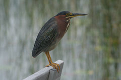 Green_heron Fotografia de Stock Royalty Free