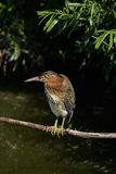 Green Heron. Heron sitting on a branch in a stream Royalty Free Stock Photos