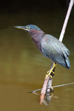 Green Heron stock image