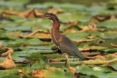 Green Heron. On Jensen Lake - Lebanon Hills Regional Park Royalty Free Stock Photo