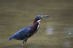 Green Heron. (Butorides virescens virescens) is hunting in a lake stock photos