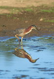 Green Heron Stock Photography
