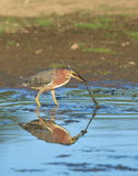 Green Heron. At the Gene Pool of Jackson Bottom Wetlands Preserve royalty free stock photos